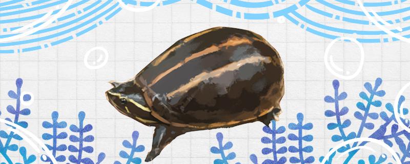 果核龟好养吗,怎么养发黄
