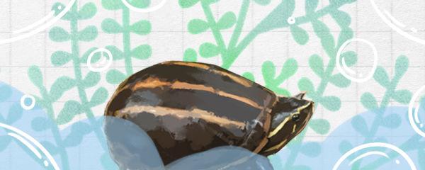 果核龟能长多大,能活多久