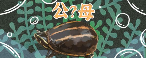 果核龟怎么看公母,公母能一起养吗