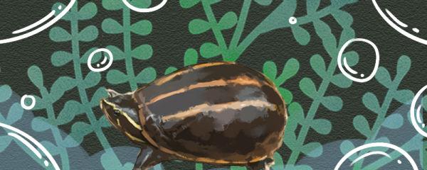 果核龟怎么养,需要加温吗