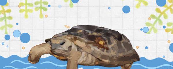 饼干龟好养吗,怎么养