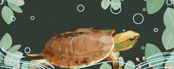 百色闭壳龟好养吗,怎么养