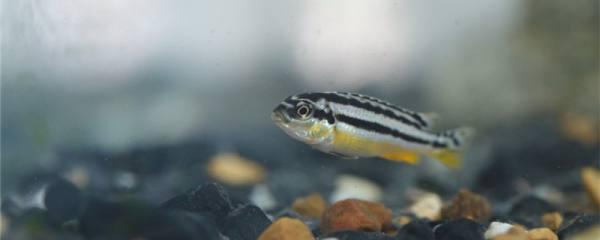 怎么看斑马鱼要生小鱼了,生出的小鱼怎么养