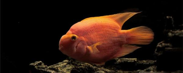 鹦鹉鱼变黑是什么原因,怎么处理
