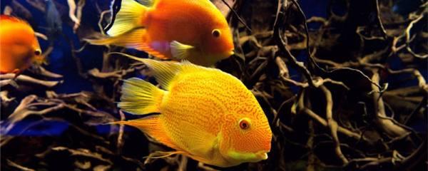 鹦鹉鱼不红了是怎么回事,怎么处理