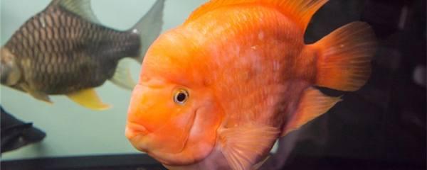 鹦鹉鱼沉底是怎么回事,怎么处理