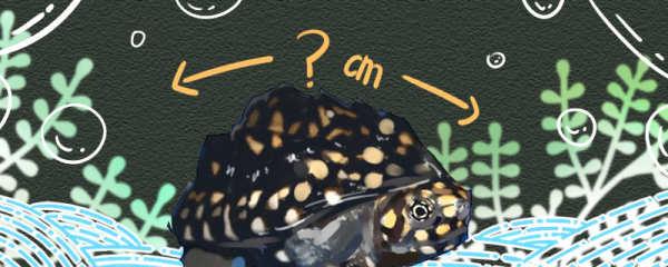 斑点池龟能长多大,能活多久