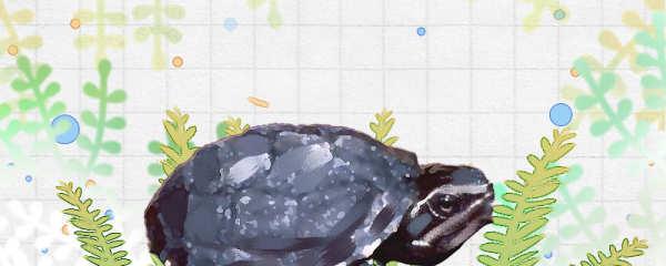 迷你麝香龟和普通麝香龟的区别是什么,可以混养吗