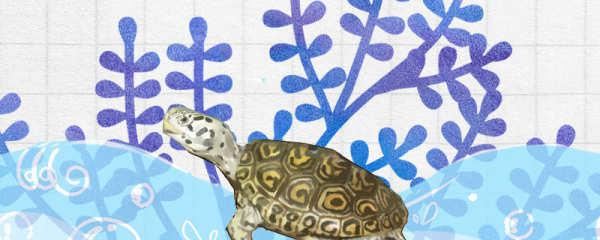 钻纹龟如何养白,如何饲养大头