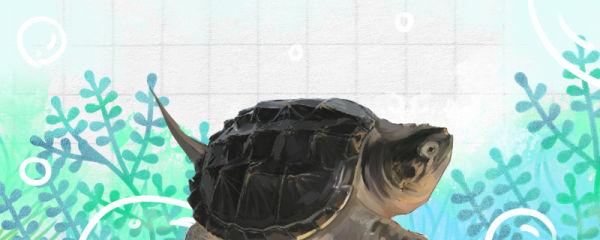 鳄龟水深多少合适,能用浅水养吗