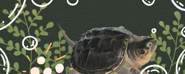 鳄龟多大才能下蛋,一次能下多少蛋