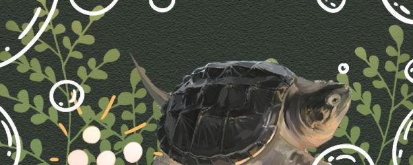 鳄龟多大算成年,多大可以生蛋