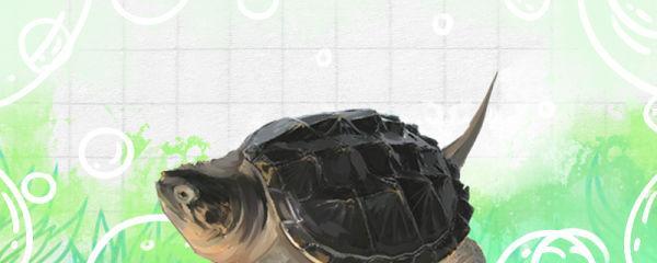 鳄龟什么时候冬眠结束,冬眠结束后多久吃东西
