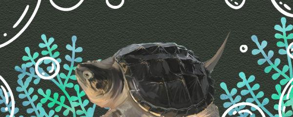鳄龟什么时候开始吃东西,吃什么食物好