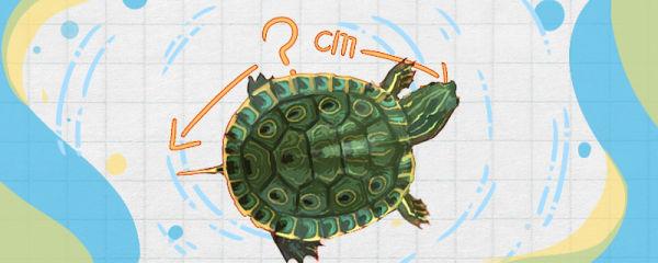 甜甜圈龟能长多大,能活多久