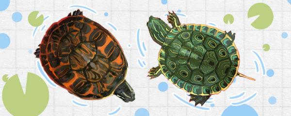 甜甜圈龟和火焰龟的区别是什么,能混养吗