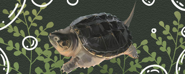 鳄龟怎么分公母,公母可以一起养吗