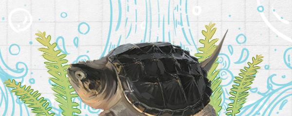 鳄龟用什么缸养最好,用多大的缸养好