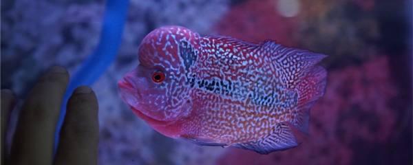 罗汉鱼肠炎怎么治疗,如何判断罗汉鱼肠炎好了
