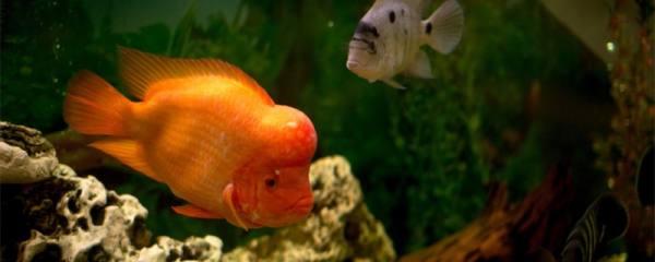 罗汉鱼用多大的鱼缸,用什么样的鱼缸好