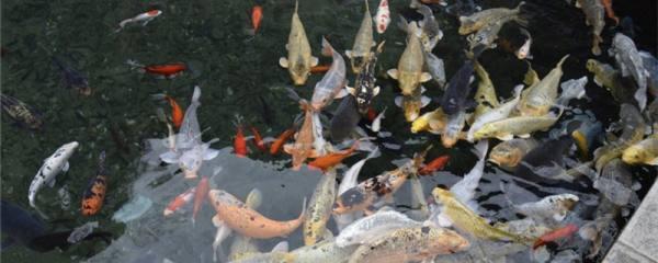鱼塘水质变绿怎么解决,养什么防绿水