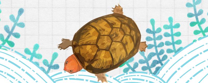 红面蛋龟好养吗,怎么养成高背
