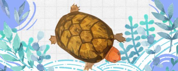 红面蛋龟可以深水养吗,水深多少合适