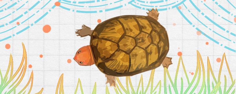 红面蛋龟苗怎么看品相,怎么养