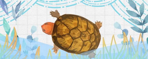 红面蛋龟苗子怎么选,吃什么