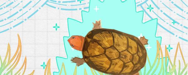 红面蛋龟需要晒太阳吗,需要黄蜡石吗