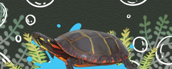 东部锦龟好养吗,怎么养