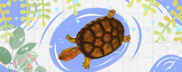斑纹泥龟可以深水吗,水深多少合适