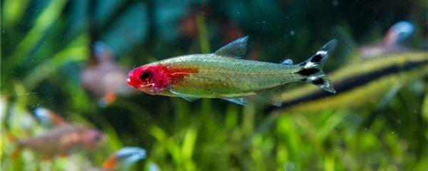 红鼻剪刀鱼能长多大,能活多久