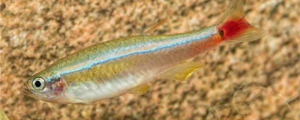 白云金丝鱼和什么鱼可以混养,可以和孔雀鱼混养吗