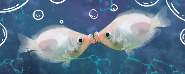 接吻鱼用什么水养,多久换一次水