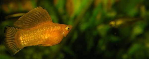 米奇鱼吃水草吗,能养在草缸吗