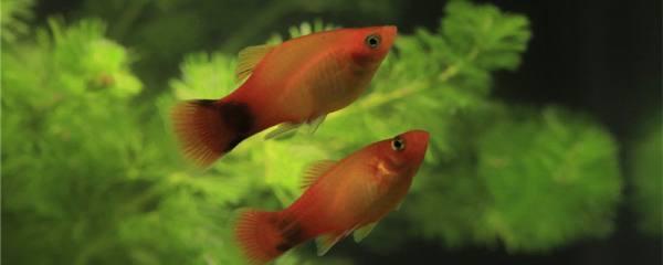 米奇鱼能长多大,寿命多长时间