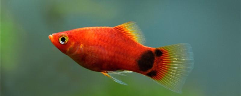 米奇鱼怎么养,需要多大的鱼缸