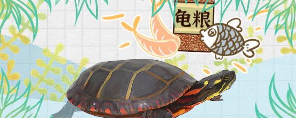 锦龟吃什么,多久喂一次