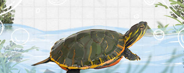 西部锦龟是深水龟吗,水深多少合适