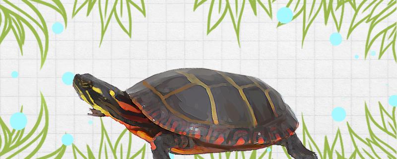 锦龟是深水龟吗,水深多少合适