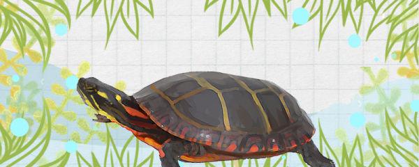 锦龟怎么养,需要晒背吗
