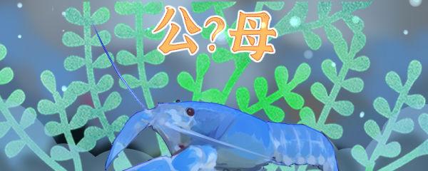天空蓝魔虾怎么看公母,公母可以一起养么