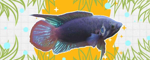 圆尾斗鱼如何出状态,多大开始发色