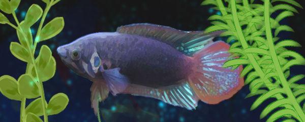 圆尾斗鱼好养吗,怎么养