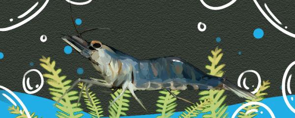 大眼贼虾怎么养,需要打氧气吗