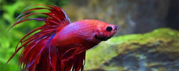 泰国斗鱼和中国斗鱼的区别是什么,能一起养吗