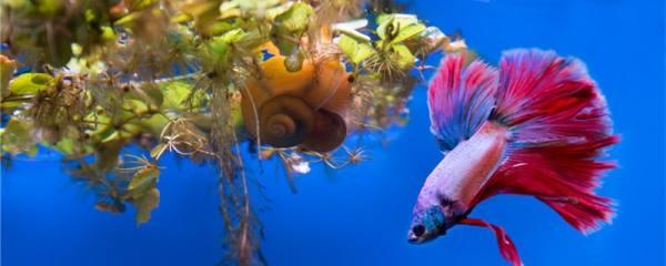 泰国斗鱼需要打氧吗,要一直打氧吗
