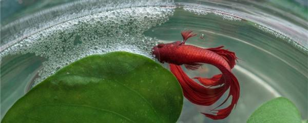 泰国斗鱼冬天会冻死吗,需要加热吗