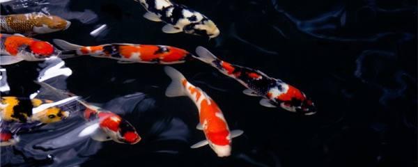 锦鲤是金鱼吗,和金鱼有什么区别